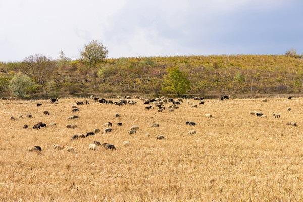 羊の群れ遠景
