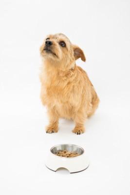ご飯からそっぽを向く犬