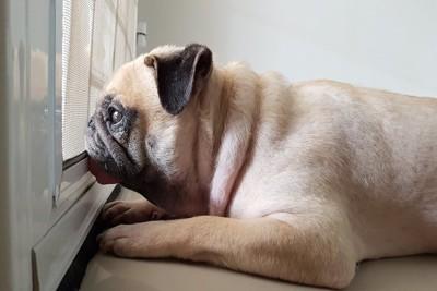 窓の外を眺めて飼い主の帰りを待つパグ