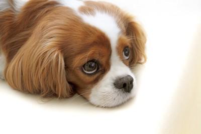 上目遣いのキャバリアの子犬