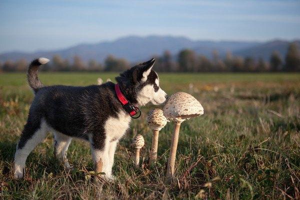 キノコとハスキーの子犬