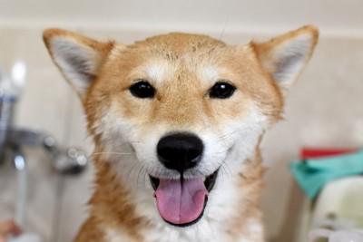 柴犬のシャンプー