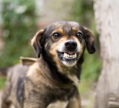 威嚇した耳が垂れた犬