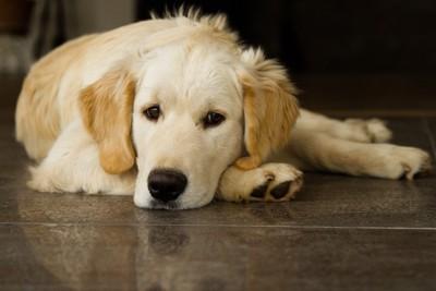 床に寝る犬