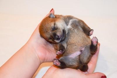 手のひらで眠る子犬