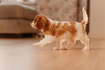 部屋のなかを歩く子犬