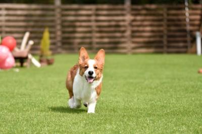 芝生の上を歩いて来るコーギー