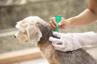 ノミ駆除薬を首の後ろに塗布されている犬