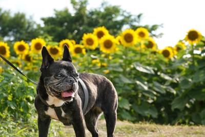 ひまわり畑を散歩をする老犬