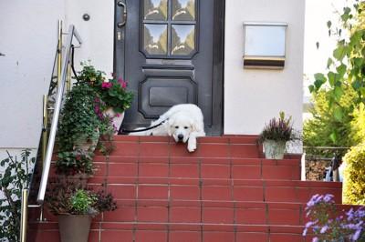 階段の上に寝ている白い大型犬