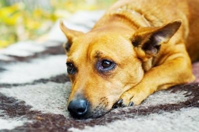悲しげな表情で伏せている犬