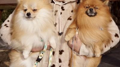 飼い主に抱き抱えられて嫌そうな顔をする2匹のポメラニアン