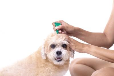 駆虫薬を滴下される犬