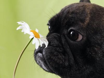 花のにおいを嗅ぐフレブル