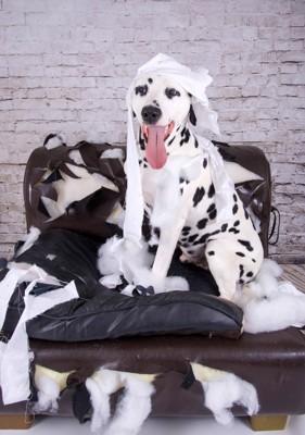 壊したソファーに座る犬