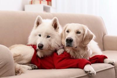 ソファーから何かを見つめている二頭の犬