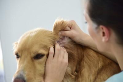 耳のチェックをされる犬