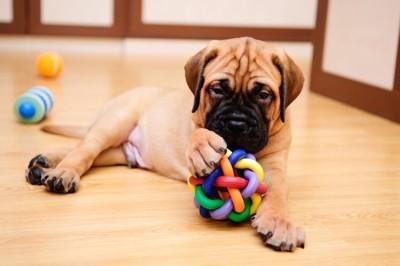 おもちゃで遊ぶブルマスティフの子犬