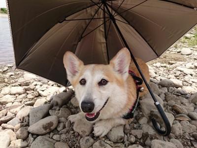 日傘にコーギー