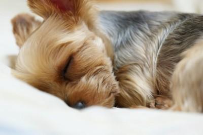 布団で眠るテリア犬