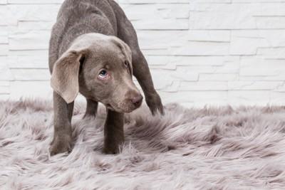 カーペットの上で怯える灰色の犬