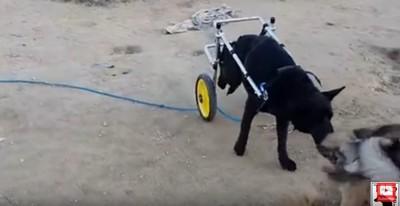 車輪をつけ砂地を歩く犬
