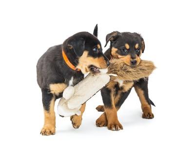 ぬいぐるみを咥えて取り合う二匹の子犬