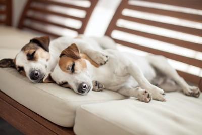 ソファーで寄り添って眠る2匹の犬