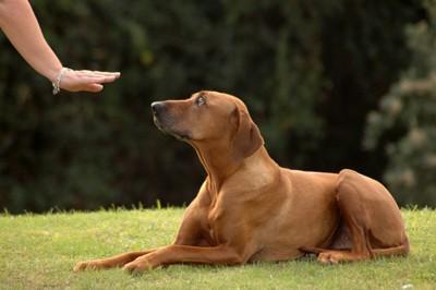 伏せをする犬とジェスチャーの手