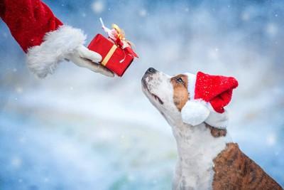 赤い帽子をかぶったテリアとプレゼントを渡す人の手