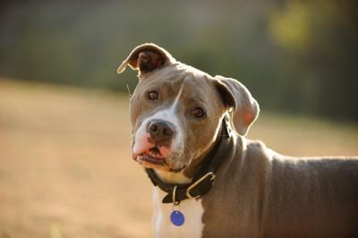 首輪をした犬