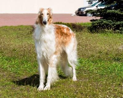 ロシア帝国では狼狩りの猟犬として飼われていたボルゾイのりりしく可愛らしい高画質な画像まとめ
