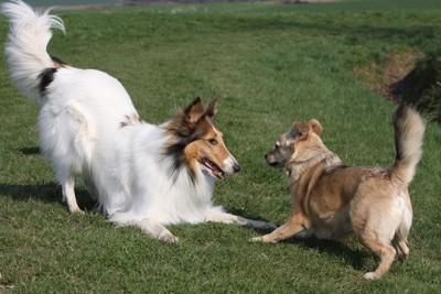 おしりを高く挙げて遊びに誘う二頭の犬