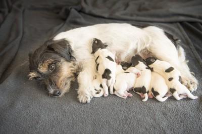 母乳を与える母犬と飲む子犬
