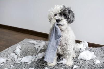 紙くずを撒き散らかして靴下を咥える犬