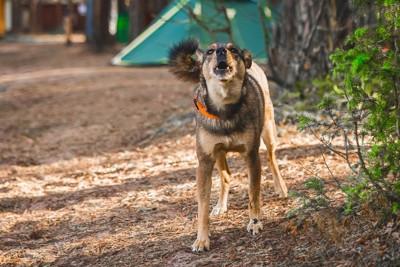 キャンプ場で威嚇する犬