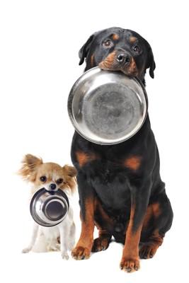 お皿を口に咥えて待つチワワとロットワイラー