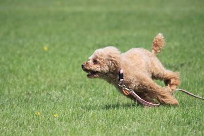 芝生を全力で走るトイプードル