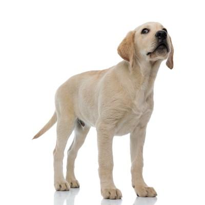 ラブラドール子犬、白い背景