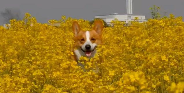花に囲まれているコーギー