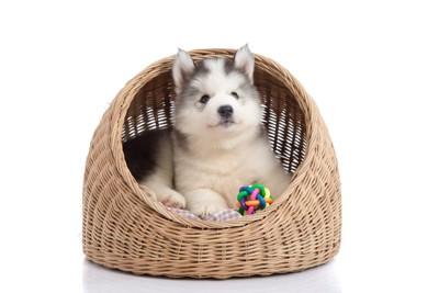 かぐらの中の子犬とおもちゃ