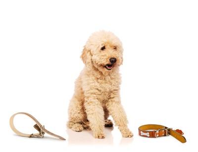 クリーム色の犬と首輪