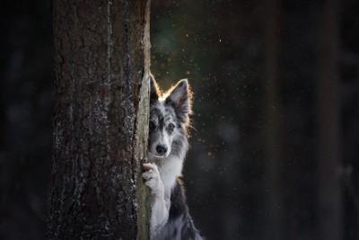 木の陰に隠れて不安そうな顔をする犬