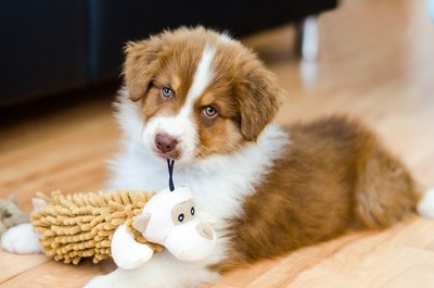 おもちゃで遊ぶオーストラリアンシェパードの子犬