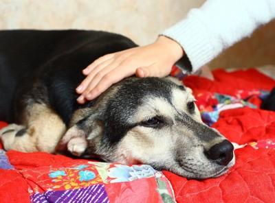 布団の上で撫でられて眠そうな犬