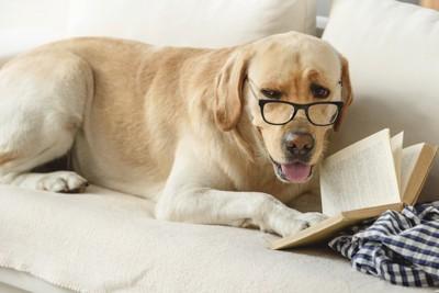 本を読んでいるレトリーバー