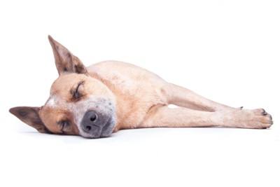 横向きで眠る犬