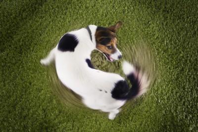 尻尾を追いかけて回る犬