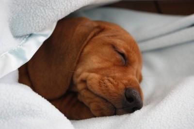 眠るダックスフント