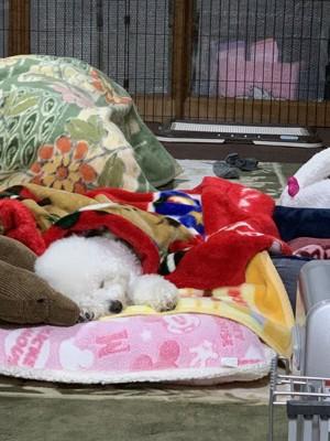 毛布にくるまれて寝ている犬